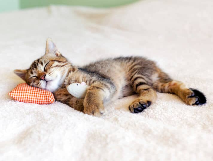 Gatto dorme divano rivestimenti adatti ad animali